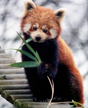 Panda-vermelho (Ailurus fulgens) mamífero arborícola que pertence à família Ursidae e que vive nos Himalaias e no sul da China, nas florestas temperadas de altitude. (Foto: Brunswyk / Wikimedia / CC 3.0)