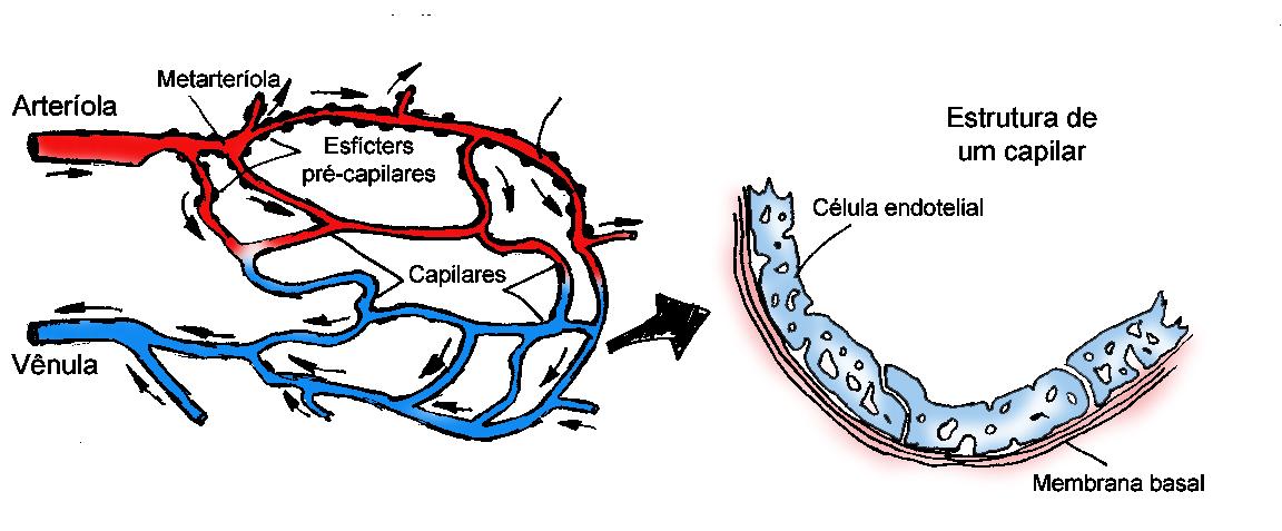 Estrutura básica de um capilar (arte: Marcelo Oliveira)