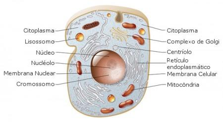 Esquema de uma célula animal e suas organelas. Ilustração: master24 / Shutterstock.com [adaptado]