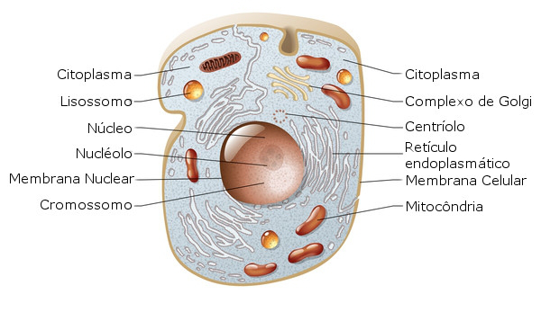 Celula Animal Biologia Celular Citologia Infoescola