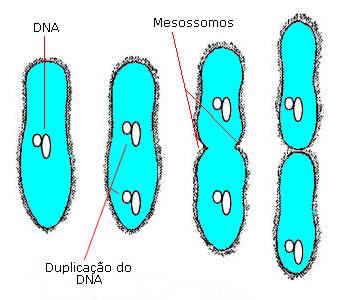 Divisão de uma bactéria por cissiparidade (ou Fissão Binária)