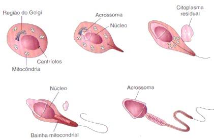 espermatogenese