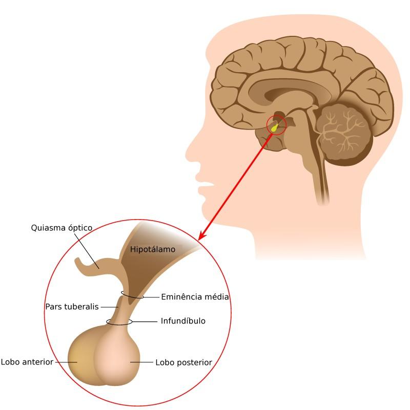 Anatomia da Hipófise. Ilustração: Alila Medical Media / Shutterstock.com