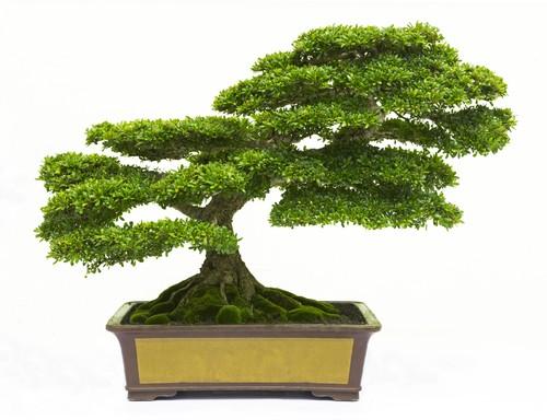 bonsai rvores em miniatura plantas infoescola