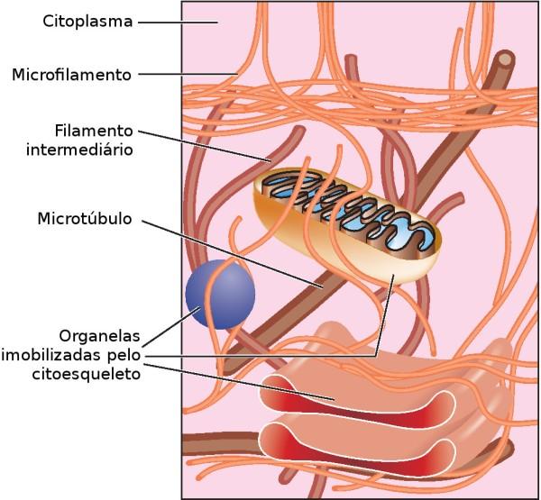 O citoesqueleto mantém a forma da célula e segura as organelas em suas posições. Ilustração: Blamb / Shutterstock.com