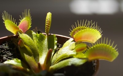 Dionaea muscipula. Foto¹: Bouba at fr.wikipedia (photo by Bouba) [GFDL or CC-BY-SA-3.0], via Wikimedia Commons