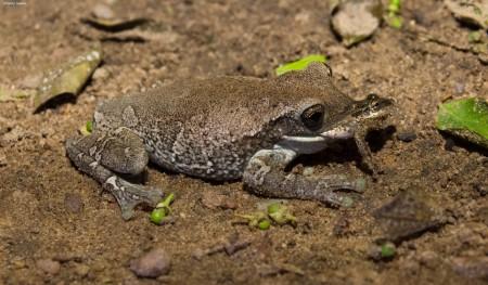 Anfíbios da família Hylidae em relação de predação (Trachycephalus vs Scinax). Foto: © Izalete Tavares.