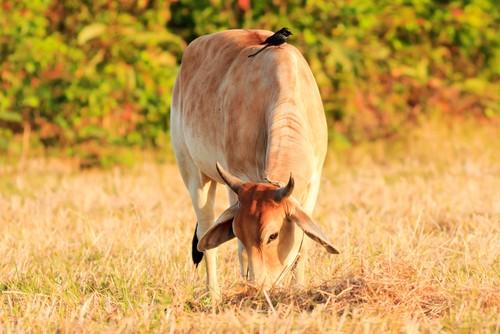 Protocooperação, entre ave e bovino. Foto: chainarong / Shutterstock.com