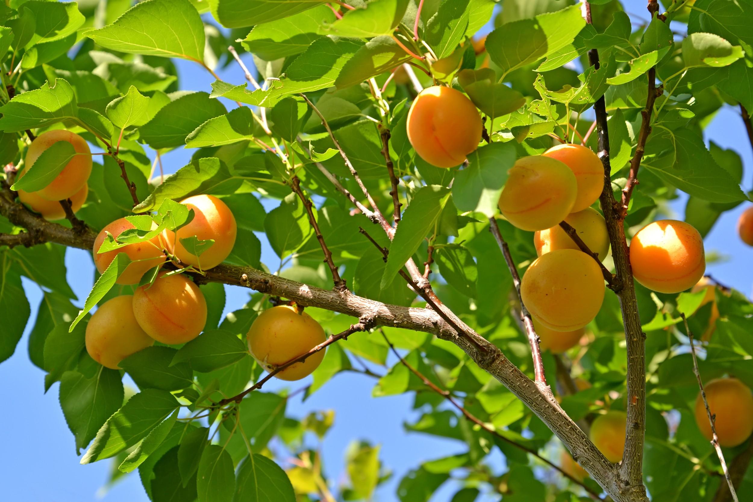 Damasco damasqueiro frutas infoescola - Fotos de damasco ...