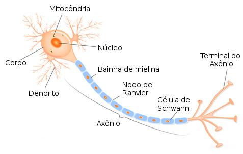 Estrutura de um neurônio. Ilustração: Designua / Shutterstock.com [adaptado]