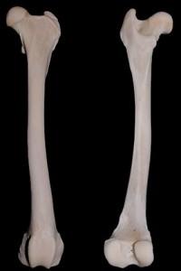 Fêmur - maior osso do corpo humano.
