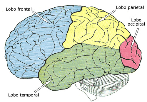 lobos cerebrais
