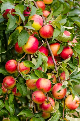 Macieira. Foto: MilousSK / Shutterstock.com