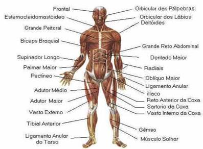 Músculos do Corpo Humano