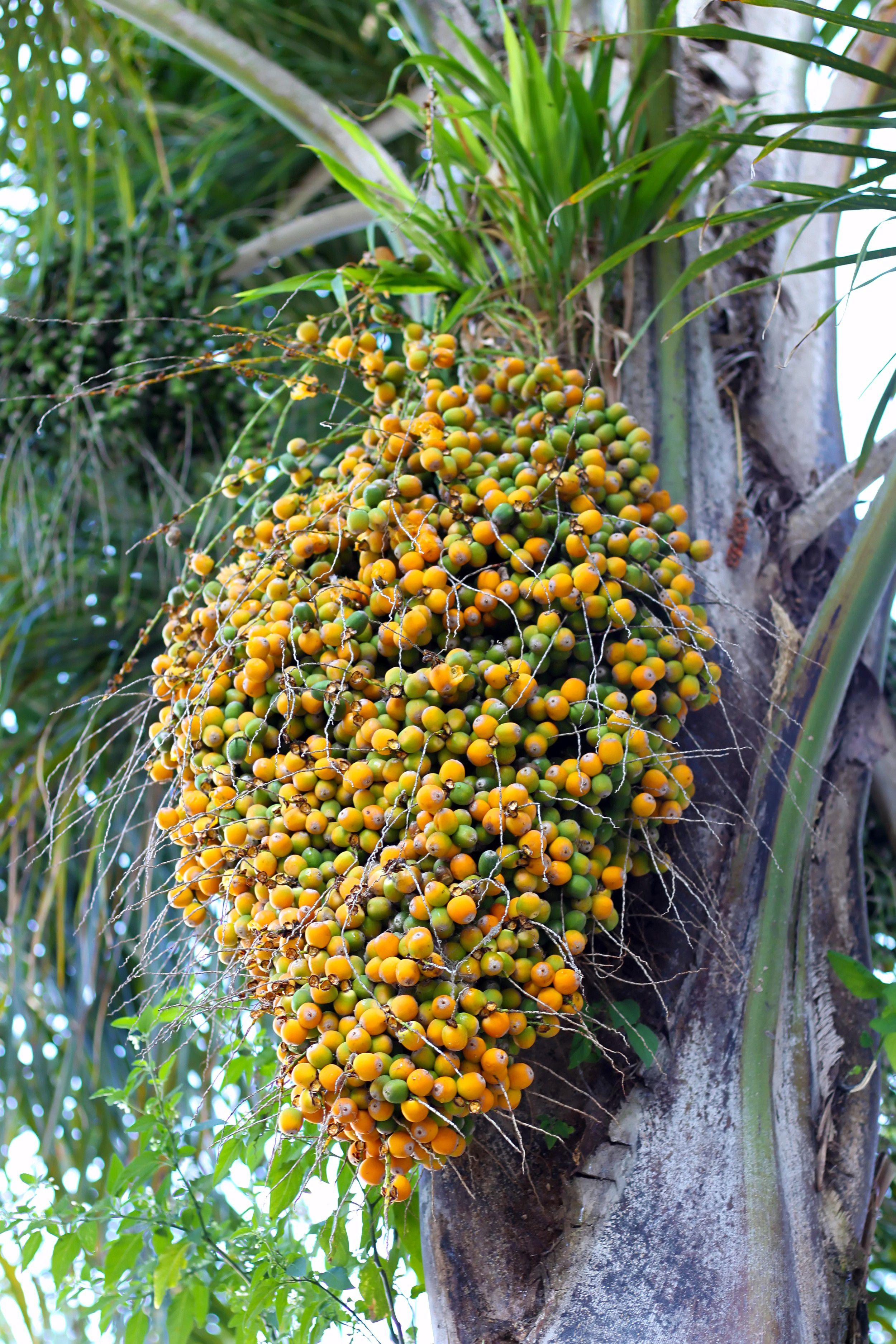 Butiá - Frutas e Plantas - InfoEscola