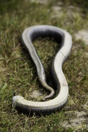 Cobra fingindo-se de morta. Foto: Coy St. Clair / Shutterstock.com