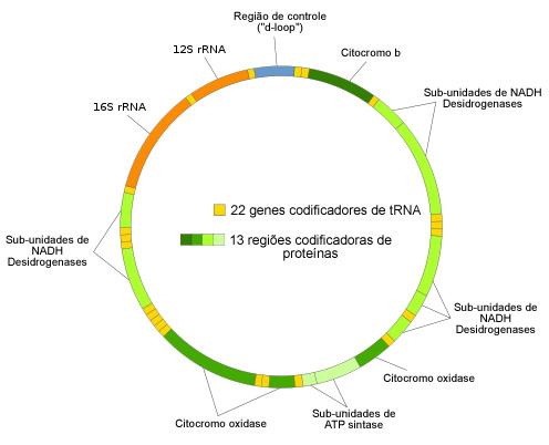 Organização do DNA mitocondrial humano. Ilustração: jhc [public domain] / via Wikimedia Commons
