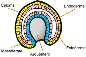 Celoma e folhetos embrionários.