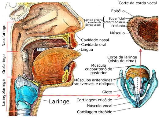 Anatomia da Laringe humana.
