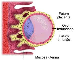 Nidação - Embriologia - InfoEscola