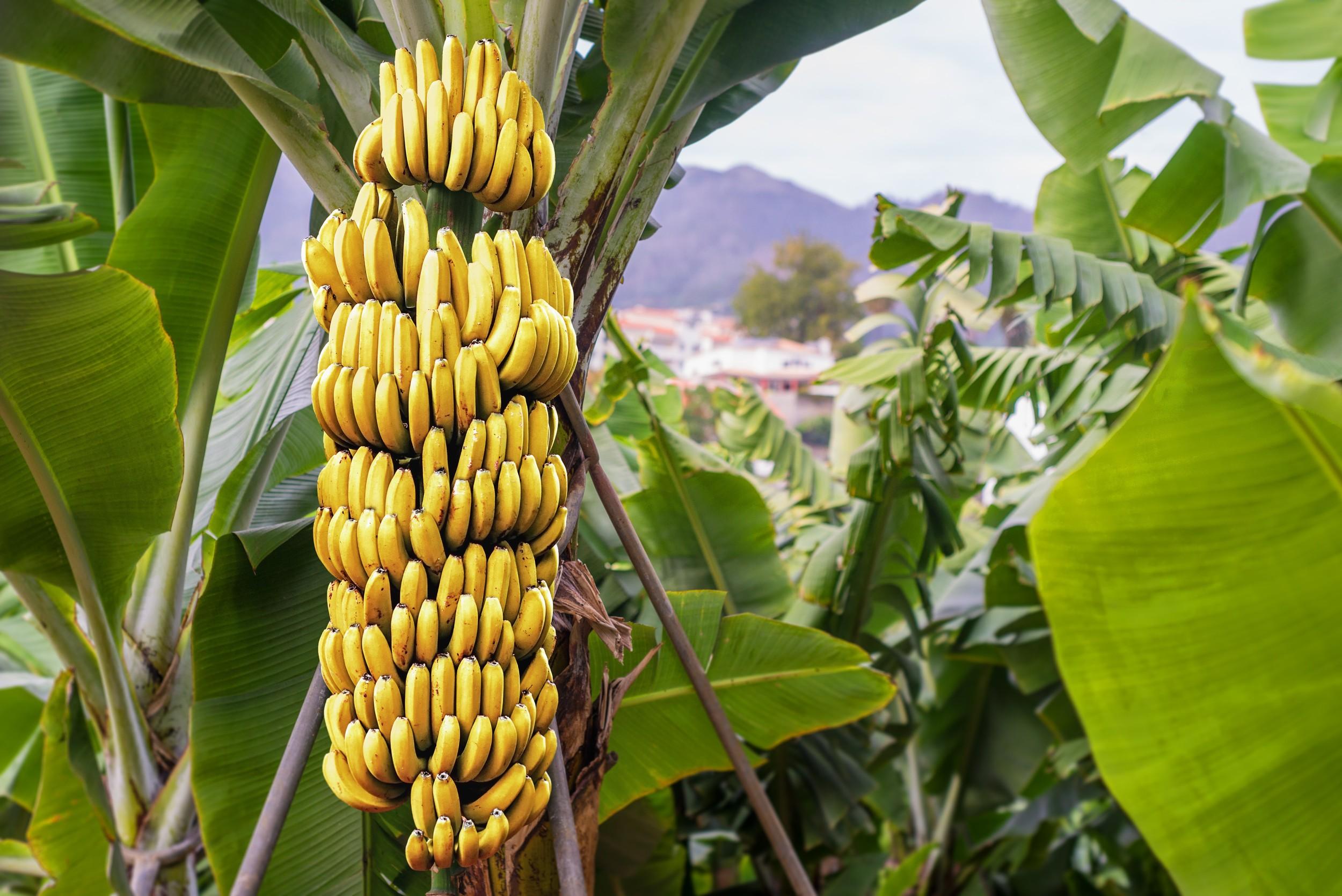 banana nutrientes e benef cios para a sa de frutas infoescola. Black Bedroom Furniture Sets. Home Design Ideas