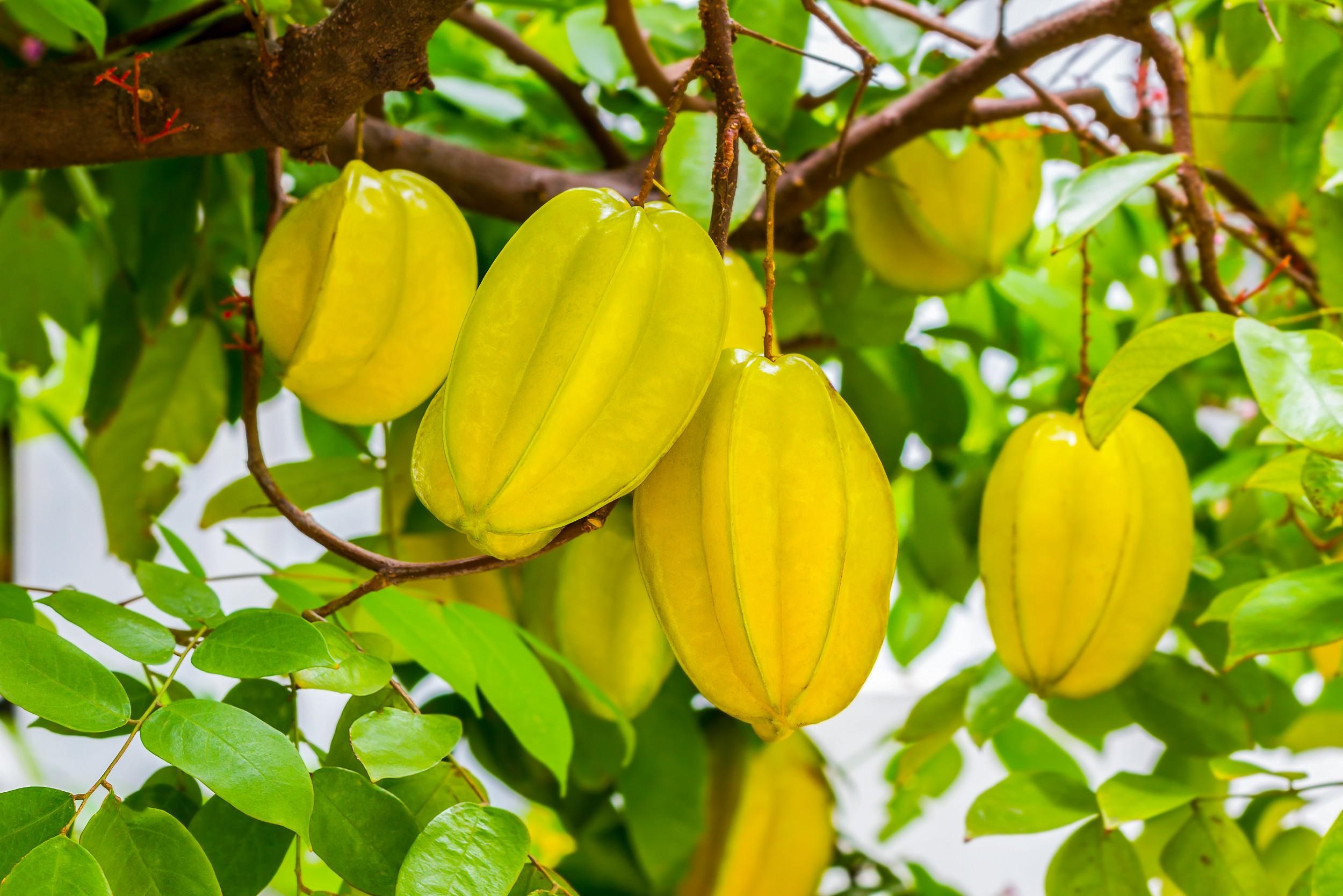 A Fruta Carambola Serve Para Que carambola - benefícios e propriedades - frutas - infoescola