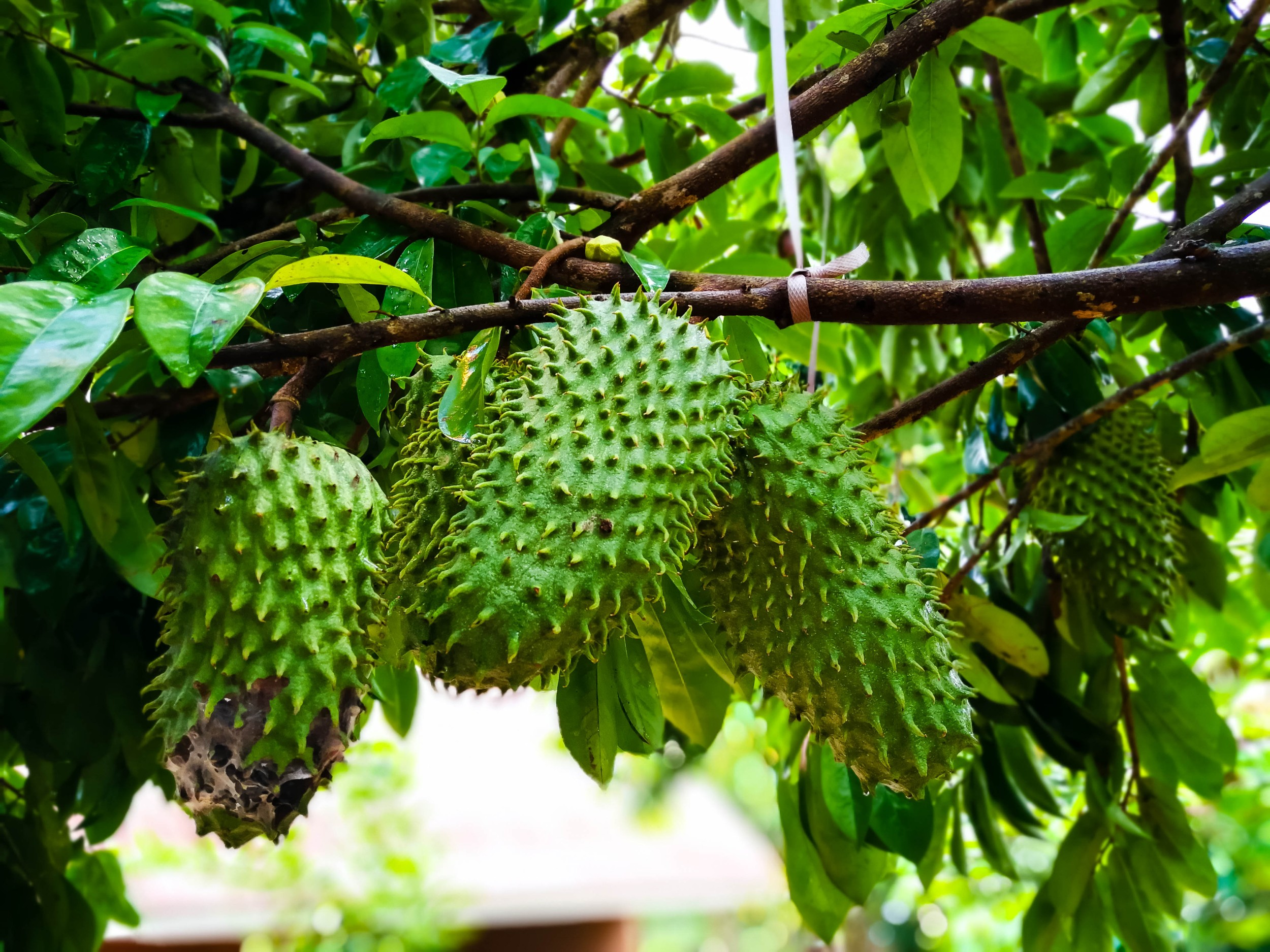 Graviola - nutrientes, benefícios - Frutas - InfoEscola
