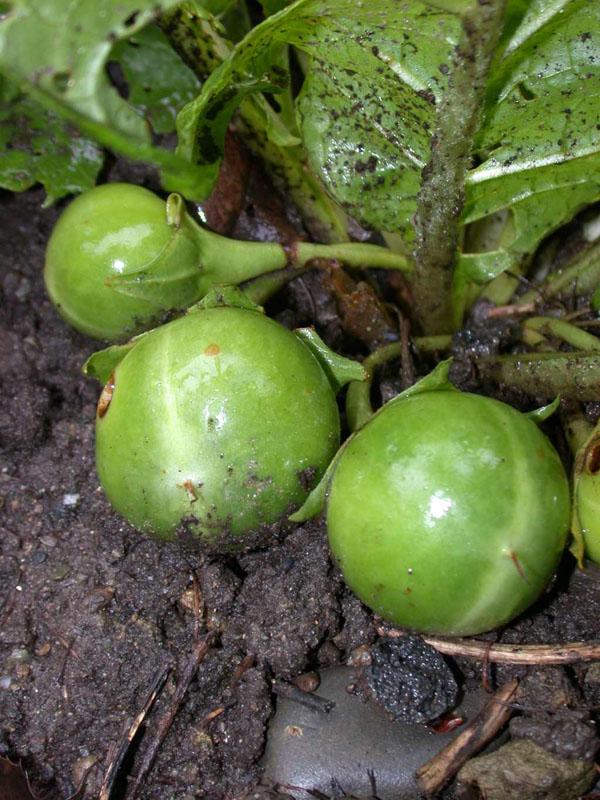 Mandrágora - Plantas - InfoEscola