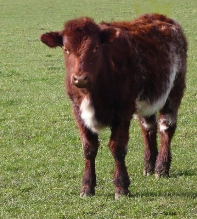 Gado Shorthorn. Foto: By Cgoodwin [CC-BY-SA-3.0 (http://creativecommons.org/licenses/by-sa/3.0) or GFDL (http://www.gnu.org/copyleft/fdl.html)], via Wikimedia Commons