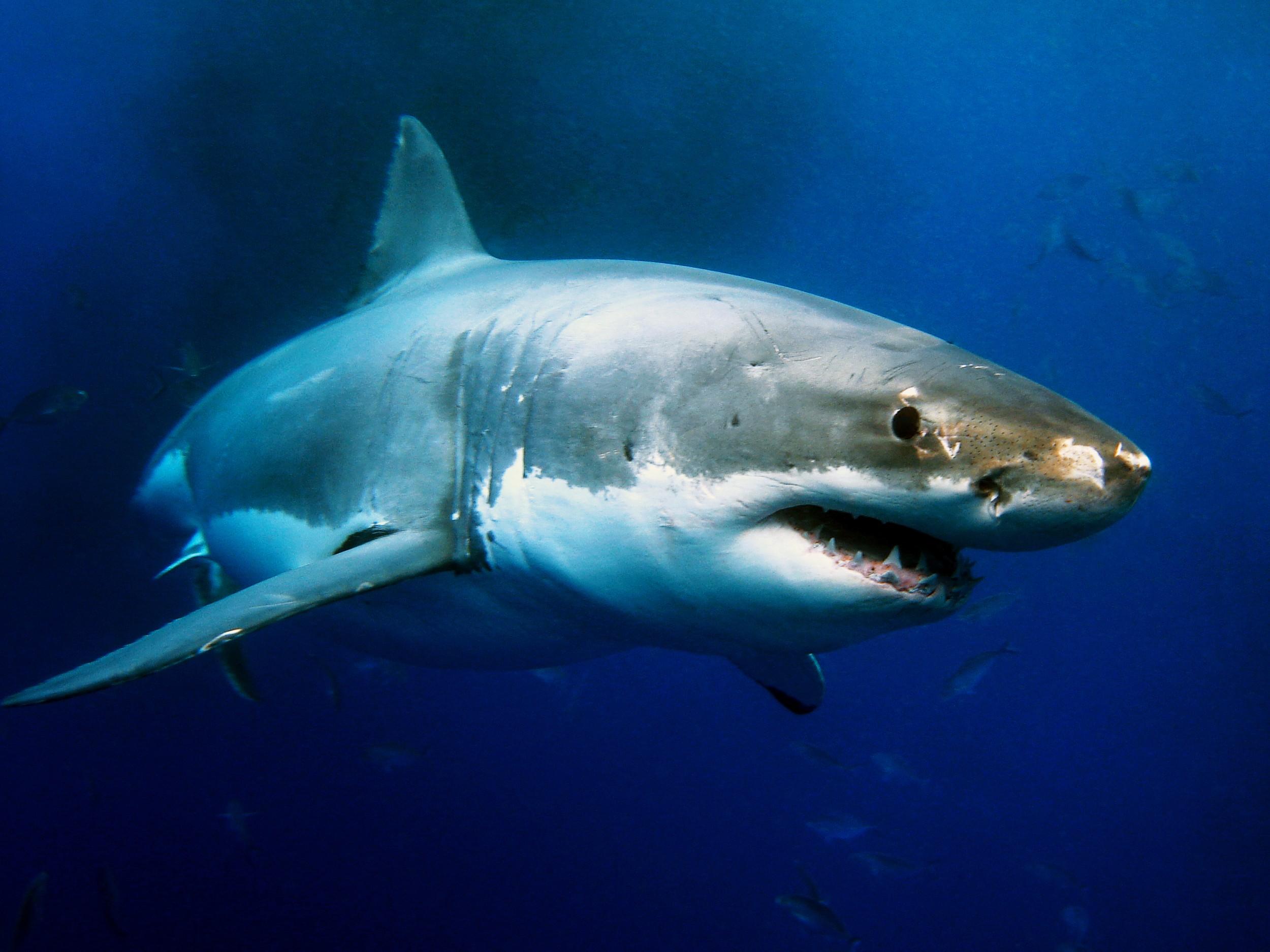 Resultado de imagem para tubarão branco