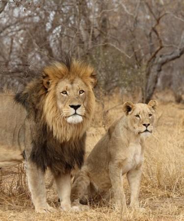 Dimorfismo sexual em leões. O macho possui juba. Foto: Dennis Donohue / Shutterstock.com