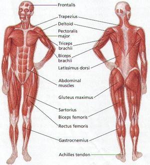 Miologia Estudo Dos Músculos Anatomia Infoescola