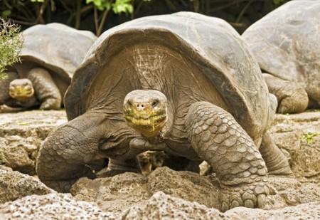 Tartaruga gigante de Galápagos. Foto: Danny Alvarez / Shutterstock.com
