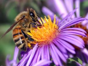Foto: John Severns = Severnjc (Photo by John Severns.) [Public domain], via Wikimedia Commons (http://commons.wikimedia.org/wiki/File:European_honey_bee_extracts_nectar.jpg)