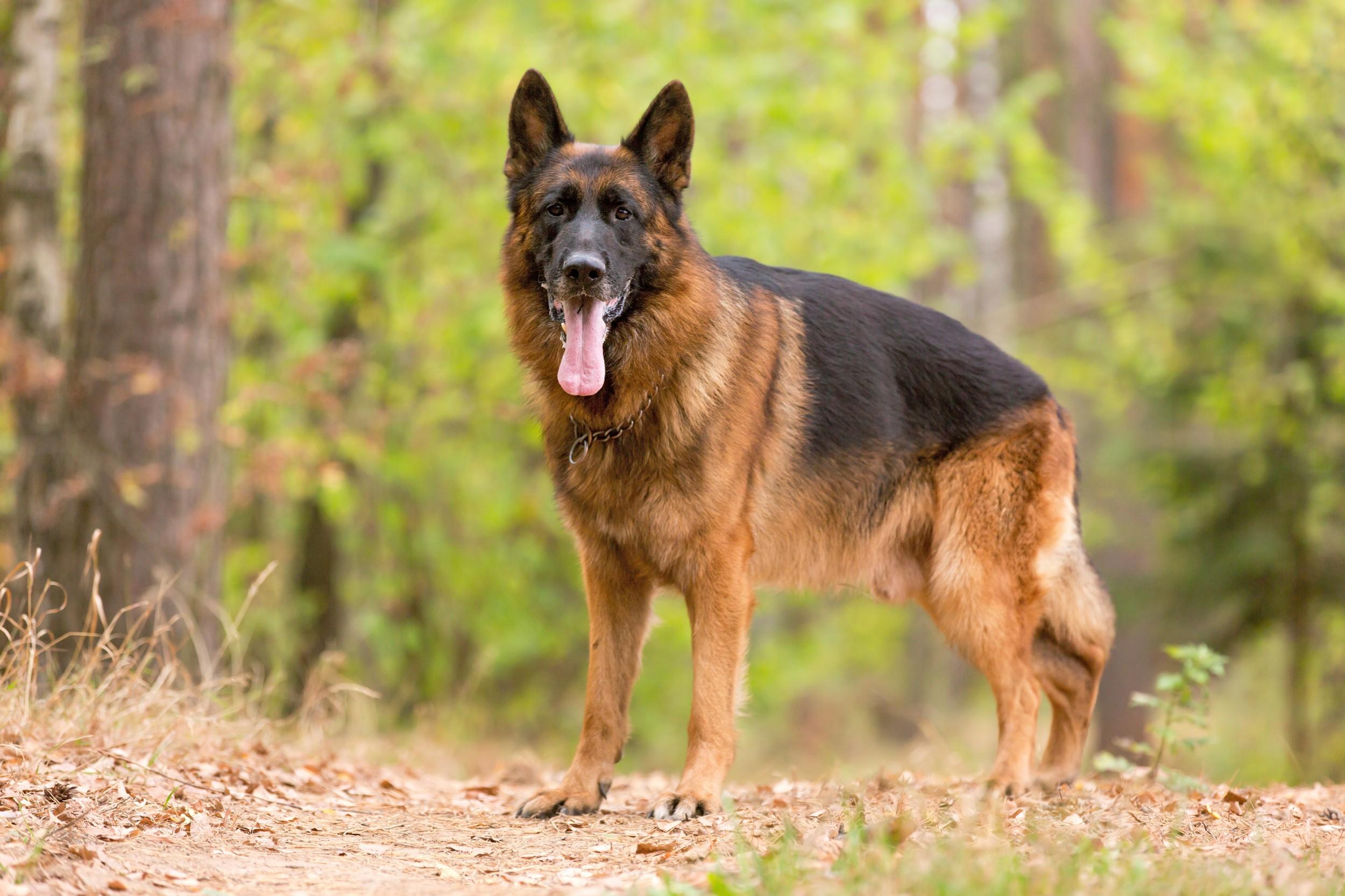 German Shepherd Dog Show Video