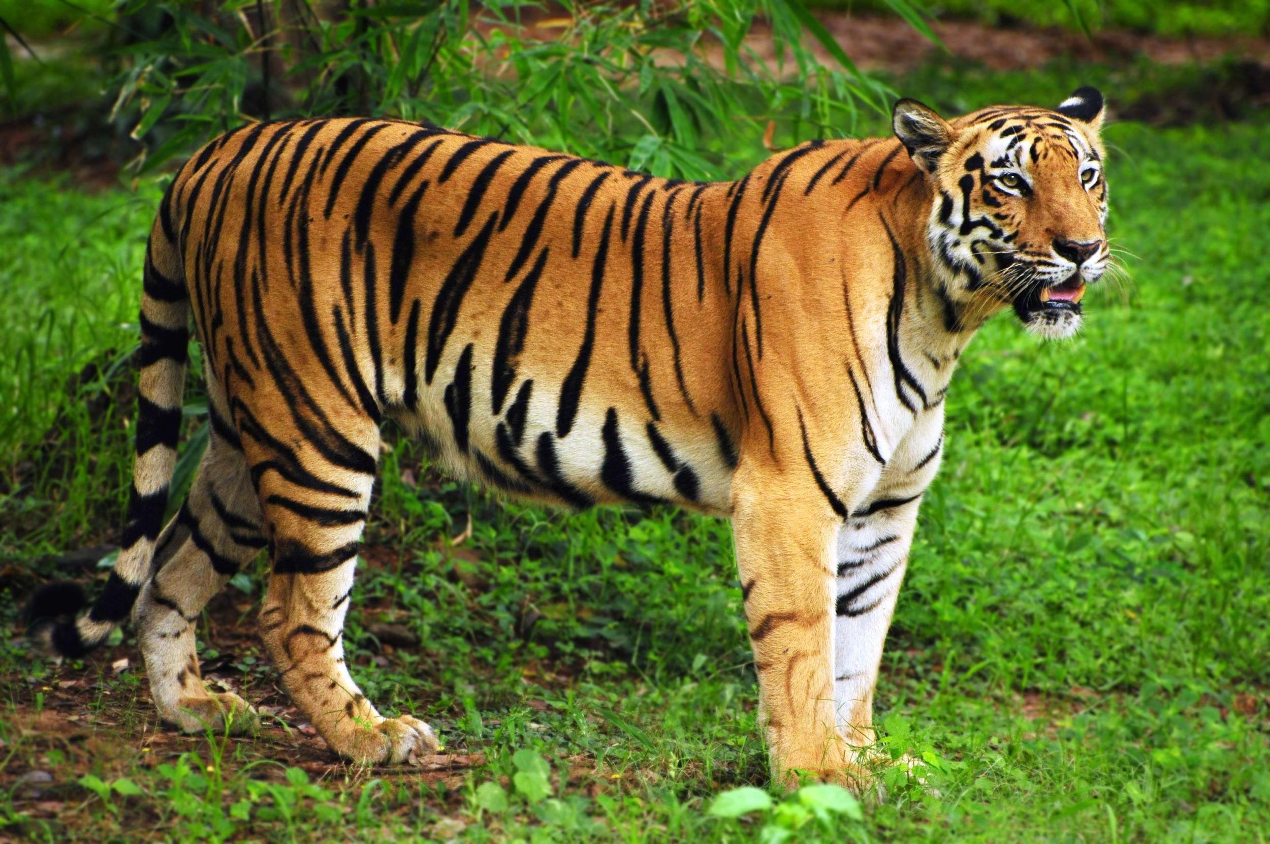 Wallpaper Bengal Tiger Hd Animals 10217: Ecologia, Características, Subespécies E Fotos De