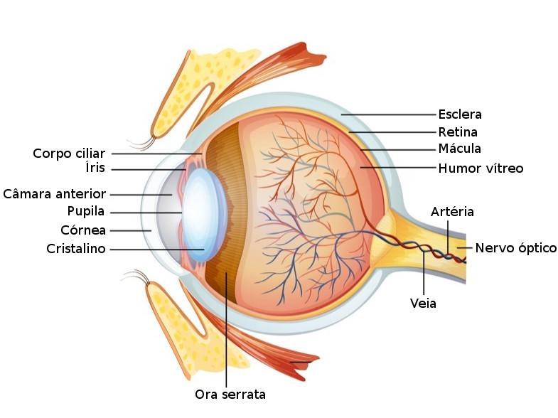 Anatomia do olho humano. Ilustração: BlueRingMedia / Shutterstock.com [adaptado]