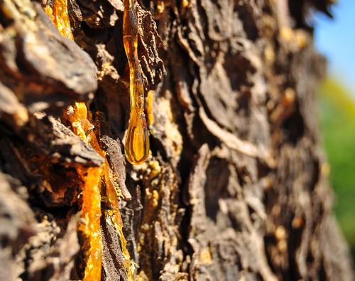 Resina escorrendo em casca de árvore. Foto: orangecrush / Shutterstock.com