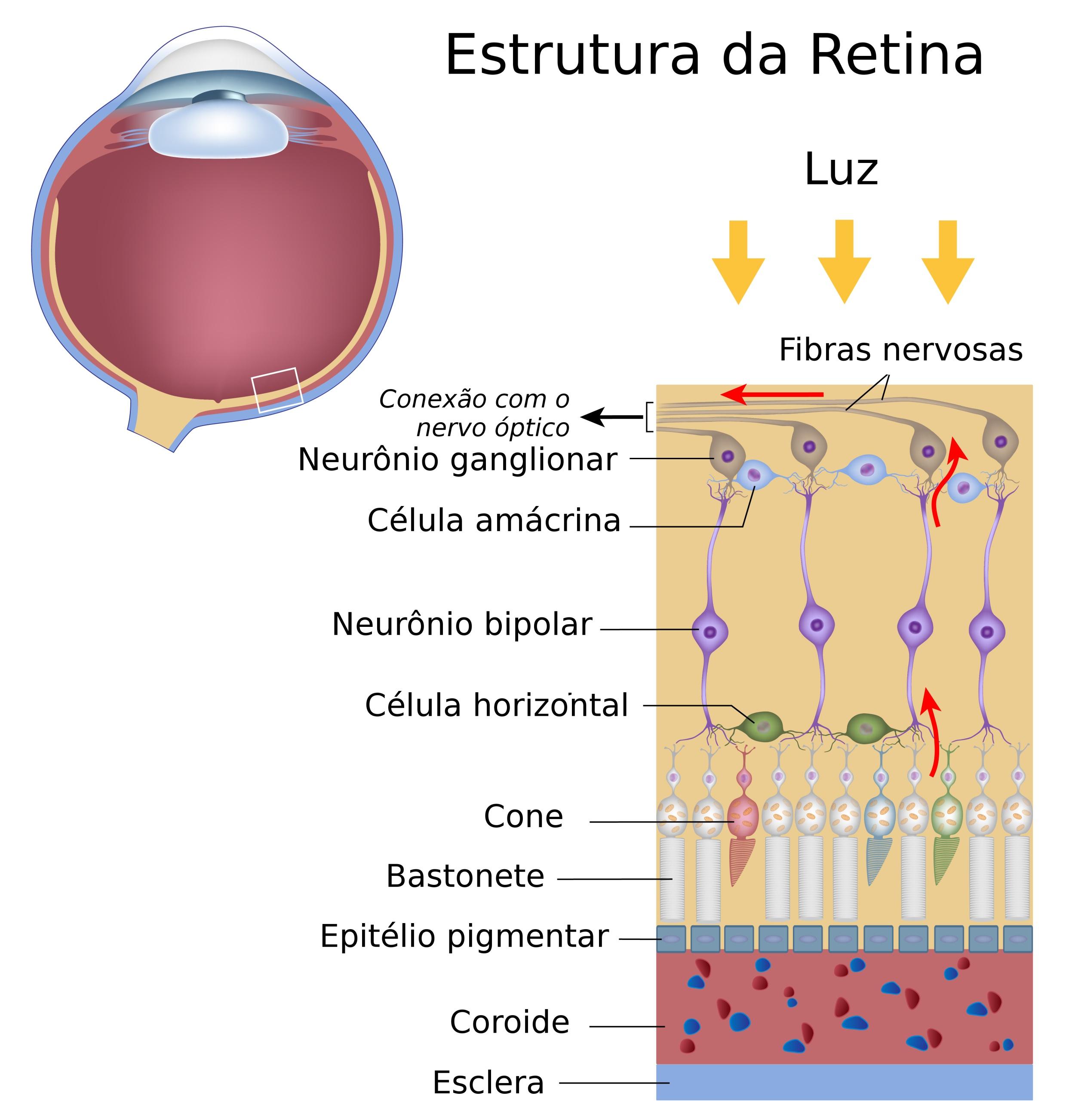 Retina Anatomia Do Olho Visão Infoescola