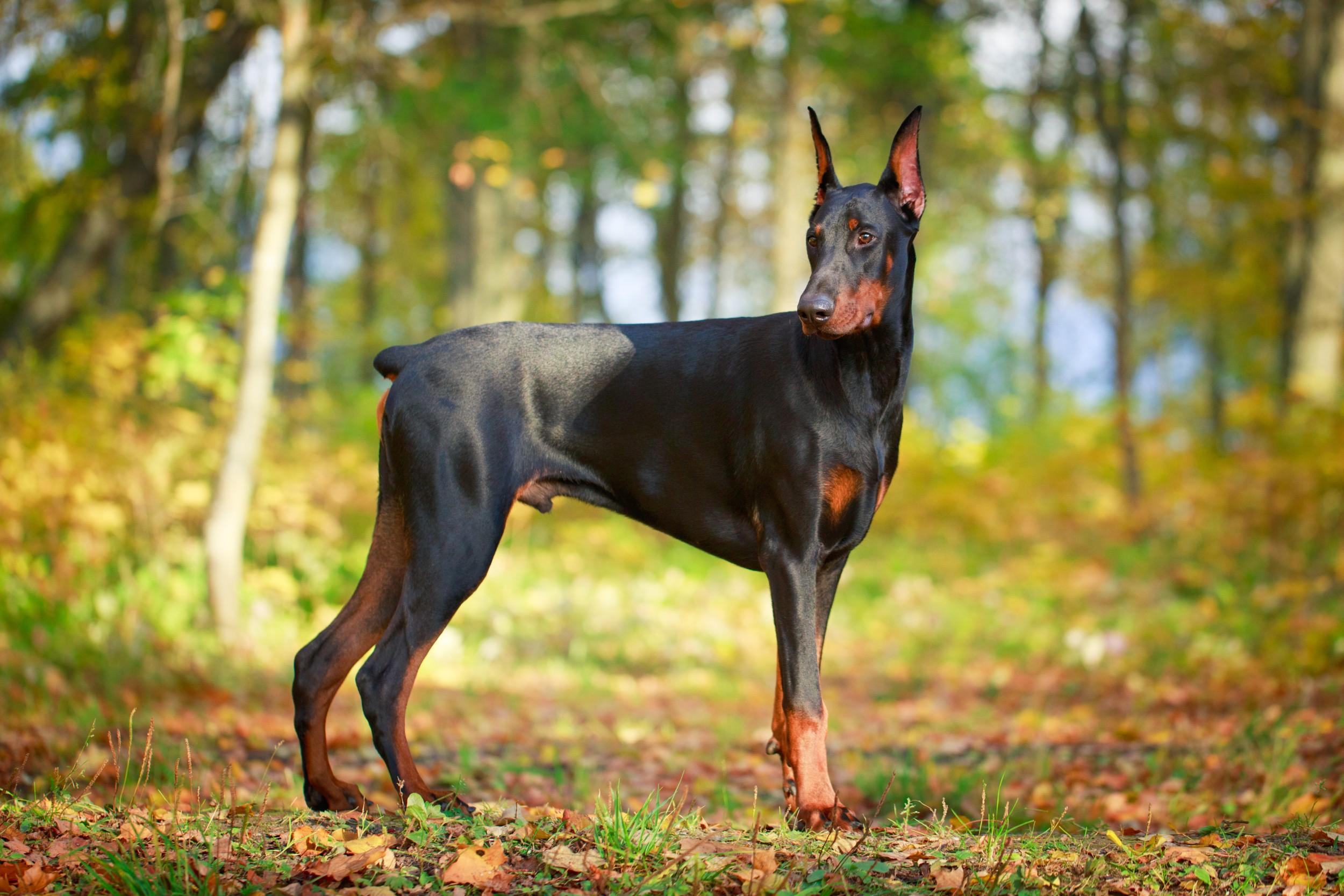 doberman raça de cão animais infoescola