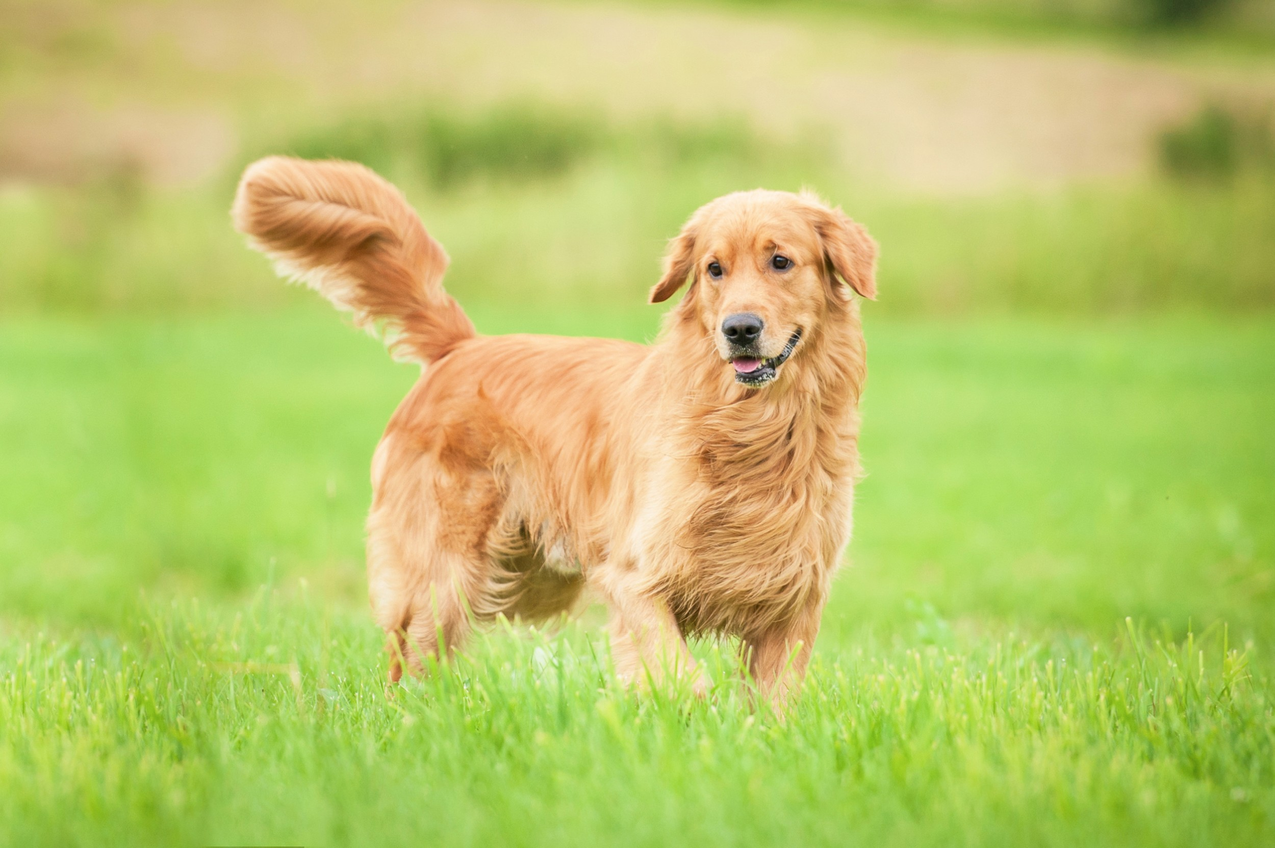 buying a golden retriever golden retriever ra 231 as de c 227 es animais infoescola 5398
