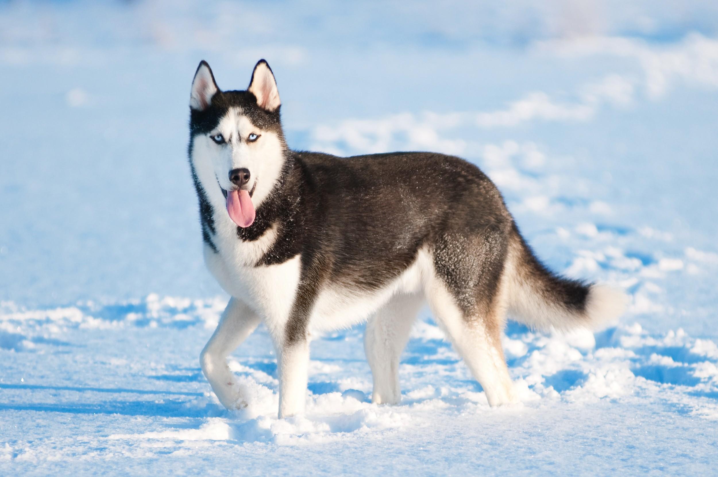 husky siberiano Pela Internet ou Loja Virtual