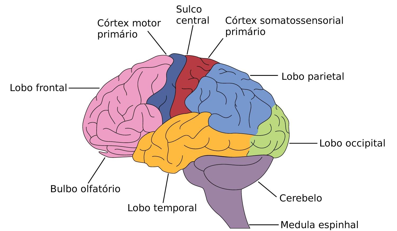 Figura 1: estruturas cerebrais. Ilustração: Mr. High Sky / Shutterstock.com