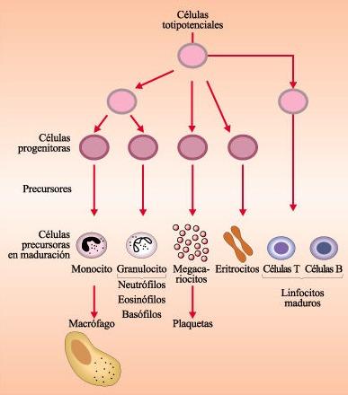 Resultado de imagem para renovação das celulas