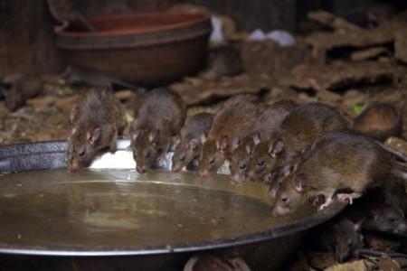 Os ratos são uma das principais pragas urbanas. Foto: Malcolm Chapman / Shutterstock.com