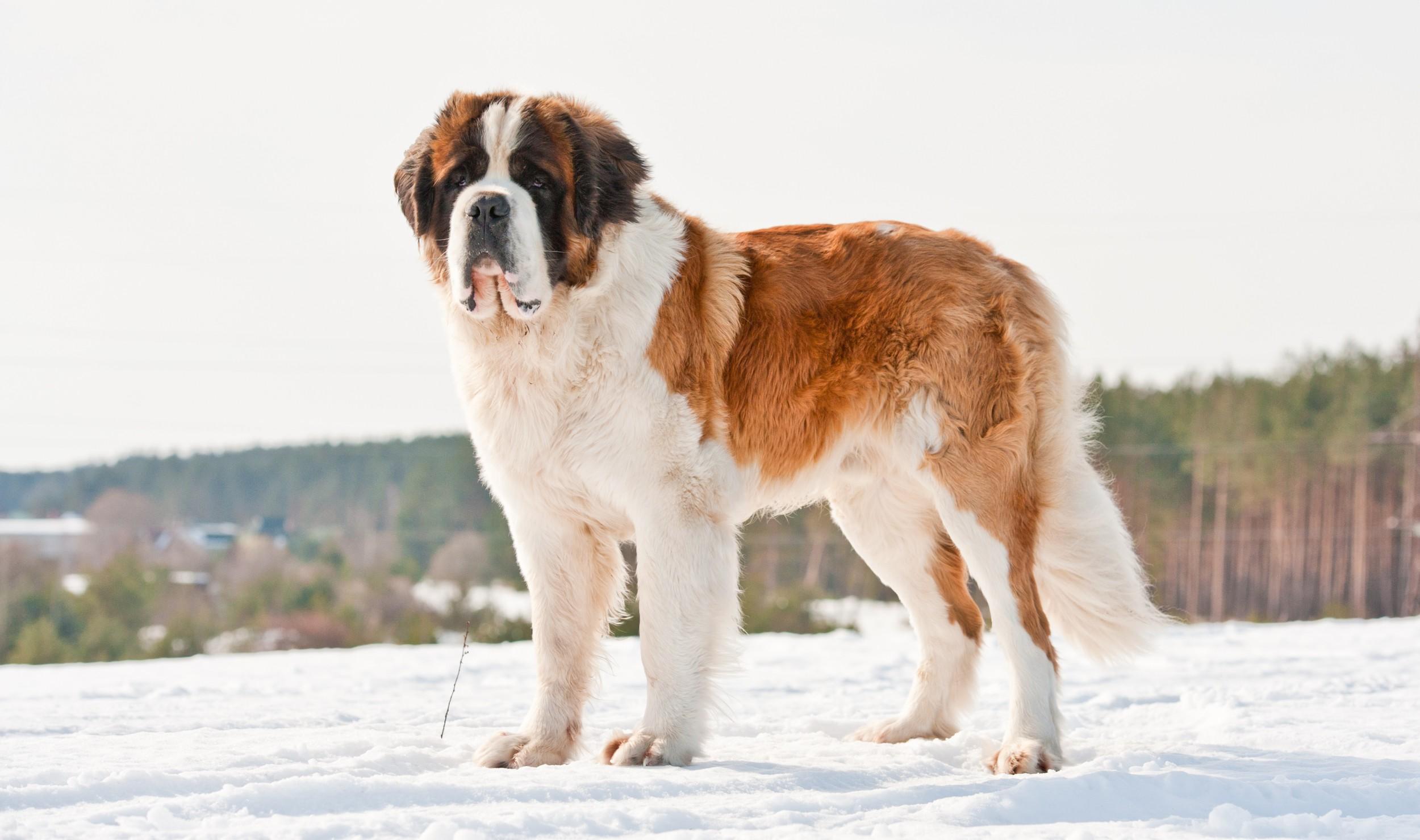 Dog Breed Like St Bernard