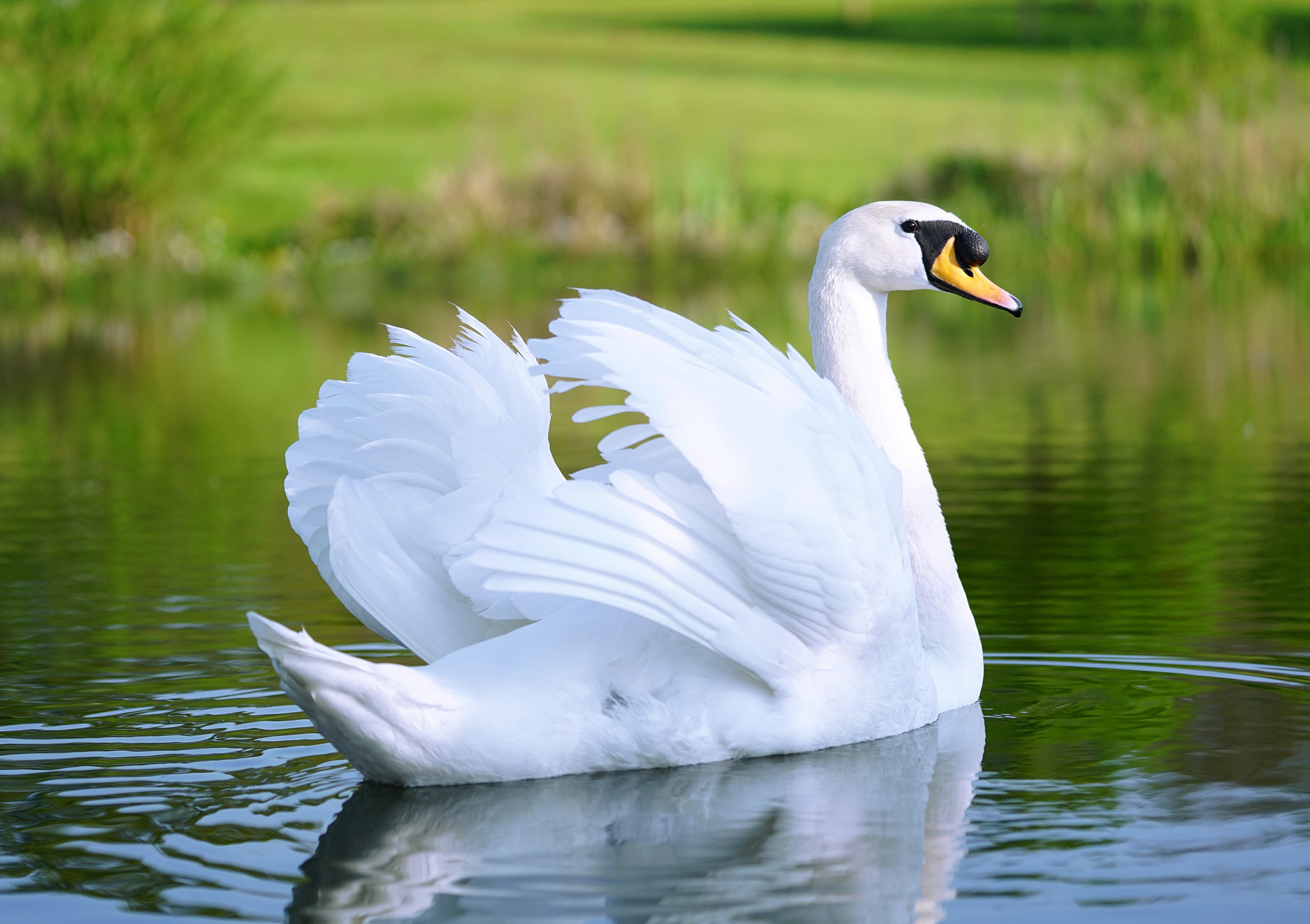 cisne online dating Find local cisne il aarp programs and information get to know the real possibility of aarp in.