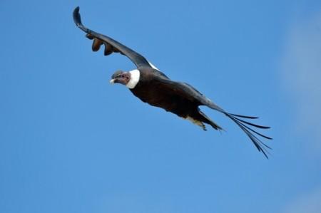 Condor. Foto: Mircea Bezergheanu / Shutterstock.com