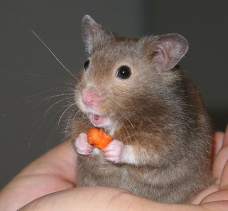 Hamster. Foto: Keith Pomakis [CC-BY-SA-2.5], via Wikimedia Commons