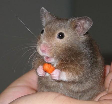 Hamster. Foto: Keith Pomakis [CC-BY-SA-2.5], via Wikimedia Commons